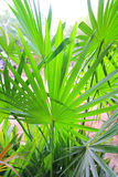 Chit Palm ree leaves in Yucatan rainforest mexico. Central america stock photos