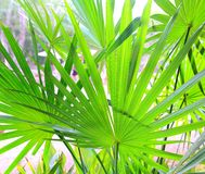 Chit Palm tree leaves in Yucatan rainforest mexico. Central america stock photo