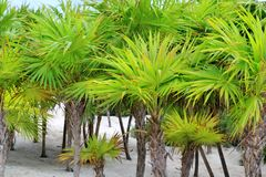 Chit palm trees in Caribbean beach sand Tulum. Chit palm trees in Caribbean beach sand Mexico Tulum Royalty Free Stock Photo