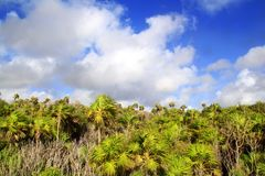 Chit palm trees jungle in Tulum Mayan Riveira. Mexico on blue sky stock photos