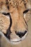 Chita Foto de Stock Royalty Free
