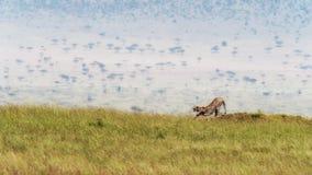 Chita adulta que estica e que boceja em Masai Mara imagem de stock royalty free