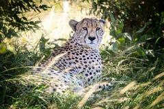 A chita adulta toma a m?scara em Masai Mara fotos de stock royalty free