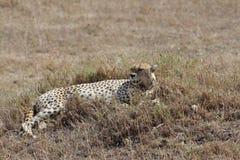 Chita africana Foto de Stock