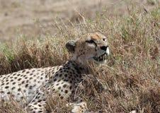 Chita africana Imagem de Stock