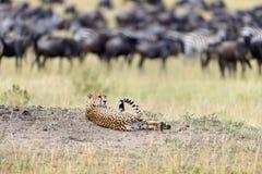 Chita africana selvagem Imagem de Stock