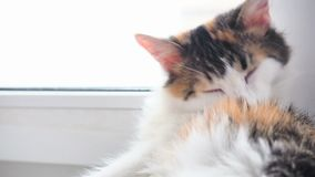 Chita Cat Licks as lãs Cat Washing Tricolor na soleira Close-up, passagens da luz solar através da janela video estoque