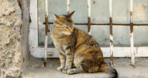 Chita Cat Sitting de Shorthair na soleira vídeos de arquivo
