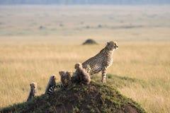 Chita com 5 filhotes Imagens de Stock Royalty Free