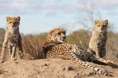 Chita com filhotes Foto de Stock Royalty Free