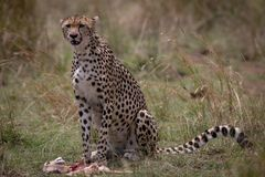 Chita com matança fresca em Masai Mara, Kenya, África fotografia de stock