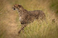 A chita cruza o trajeto através da grama no savana fotografia de stock