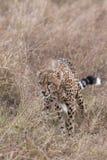 A chita da caça espreita através do close up longo da grama Imagem de Stock Royalty Free