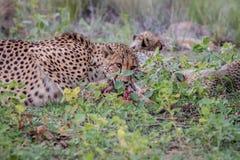 Chita da mãe com os filhotes que alimentam em uma impala imagens de stock