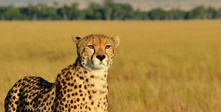 Chita de Serengeti Fotos de Stock