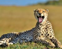 Chita de Serengeti Fotografia de Stock Royalty Free
