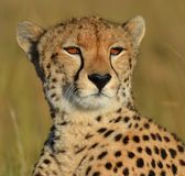 Chita de Serengeti Imagem de Stock