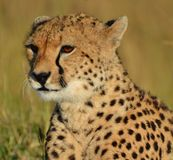 Chita de Serengeti Imagem de Stock Royalty Free