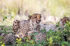 Chita e filhotes da mãe que alimentam em uma impala imagem de stock