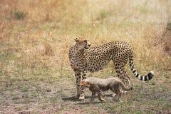 Chita e seu filhote pequeno no Masai Mara, Kenya, África imagens de stock royalty free