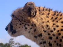 Chita em África do Sul Fotos de Stock Royalty Free
