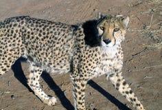 Chita em Namíbia Imagens de Stock Royalty Free