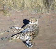 Chita em Namíbia Imagem de Stock Royalty Free