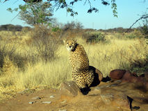 Chita em Namíbia Foto de Stock