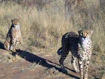 Chita em Namíbia Imagem de Stock