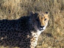 Chita em Namíbia Foto de Stock Royalty Free