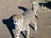 Chita em Namíbia Imagens de Stock