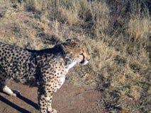 Chita em Namíbia Fotos de Stock