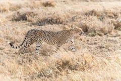 Chita em Serengeti Foto de Stock Royalty Free