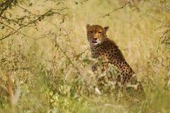 Chita (jubatus do Acinonyx) Fotos de Stock