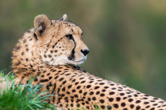 Chita - jubatus do Acinonyx imagem de stock royalty free