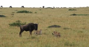 Chita, jubatus do acinonyx, adultos que caçam Wildebest, Masai Mara Park em Kenya, filme