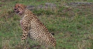 Chita, jubatus do acinonyx, adultos que comem uma matança, um Wildebest, Masai Mara Park em Kenya video estoque