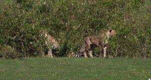 Chita, jubatus do acinonyx, adultos que emergem de Bush, Masai Mara Park em Kenya, filme