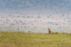 Chita na grama de Masai Mara imagem de stock royalty free