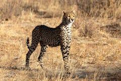 Chita na luz da manhã nas planícies em Masai Mara, Kenya, África fotografia de stock