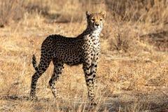 Chita na luz da manhã, nas planícies em Masai Mara, Kenya, Afri foto de stock royalty free