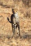 Chita nas planícies em Masai Mara, Kenya, África foto de stock royalty free