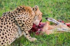 Chita pequena que come uma impala travada no parque nacional de Maasai Mara (Kenya) Foto de Stock