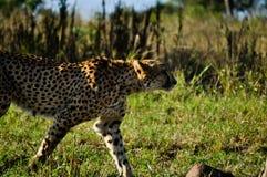 Chita que anda em África do Sul imagem de stock royalty free