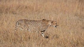 Chita que anda na grama seca ( Acinonyx jubatus) , Masai Mara Reserve, Kenya fotografia de stock royalty free