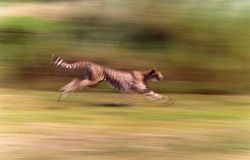 Chita que corre rapidamente na alta velocidade fotos de stock