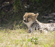 Chita que descansa no Masai Mara Fotografia de Stock