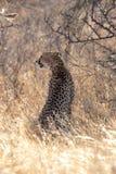 Chita, retroiluminada na luz da manhã em Masai Mara, Kenya, África fotos de stock