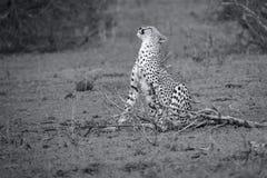 A chita senta-se para descansar após a caça longa para riscar-se imagens de stock royalty free