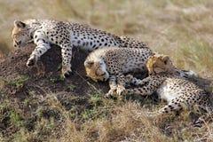 Chita três que descansa no Masai Mara foto de stock royalty free